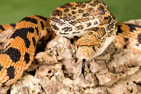 Great view on the tongue of an adult bullsnake snake photo