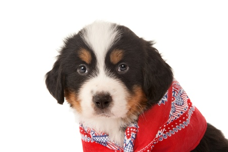 hanky: Closeup of a little Bernese mountain dog wearing a red peasant scarf Stock Photo