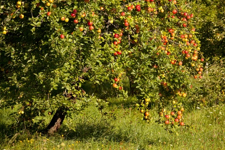 apple tree: Closeup of an apple tree full of red apples in September in France