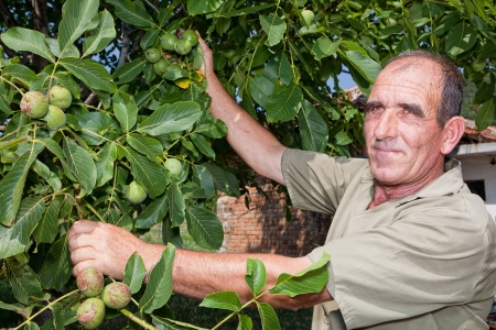 tree nuts: Old farmer in Bulgaria checking his walnut crop