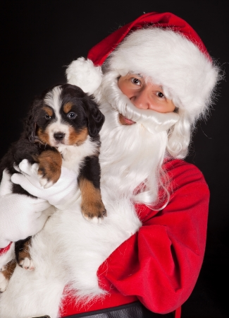 Santa claus bringing a 6 weeks old puppy bernese mountain dog Stock Photo