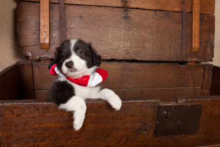 5 weeks old border collie puppy in an antique chest wearing a christmas collar photo