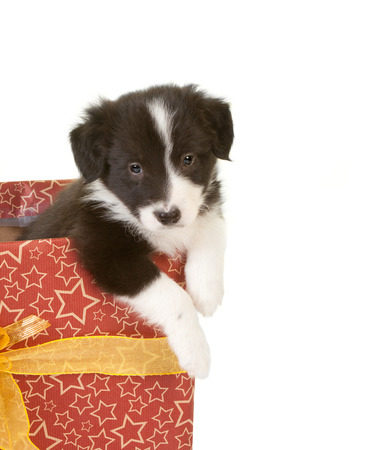 Adorable border collie puppy asking to get out of a christmas present photo