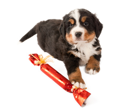 Bernese mountain dog puppy playing with a christmas gift photo