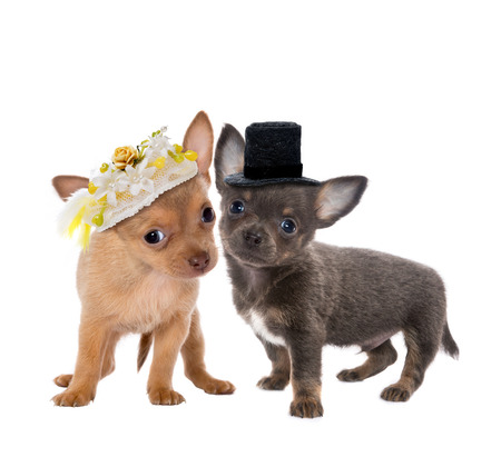Two cute chihuahua puppies getting married  photo