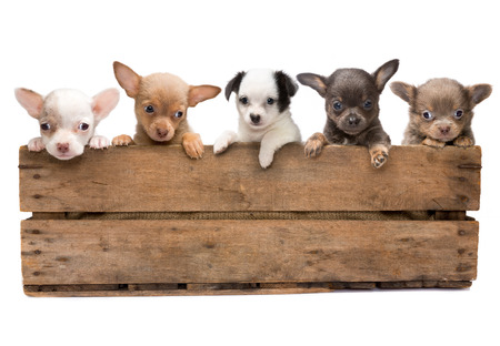 Vintage wooden crate filled with five newborn chihuahua puppies Stock Photo
