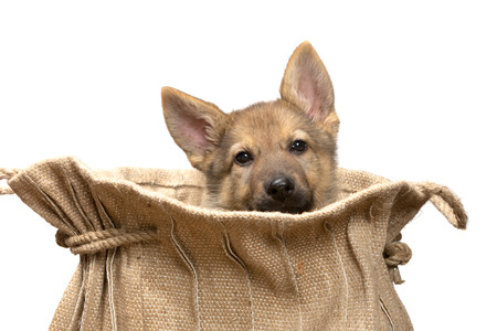 Adorable begging German Shepherd puppy of nine weeks old sitting in a vintage jute bag photo