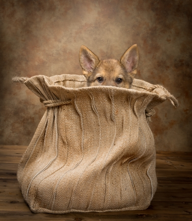 jute: Adorable begging German Shepherd puppy of nine weeks old sitting in a vintage jute bag Stock Photo
