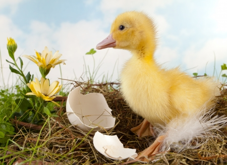 Easter scene with yellow duckling and flowers photo