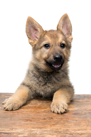 german shepherd puppy: Portrait of a young nine weeks old german shepherd puppy