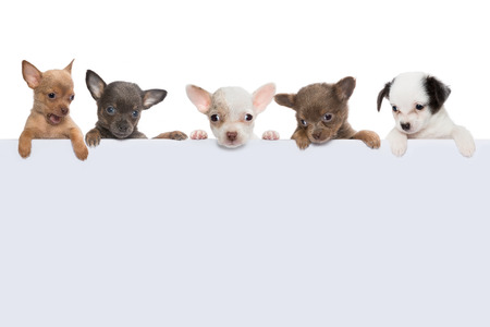 Five cute chihuahua puppies holding an empty banner Stock Photo