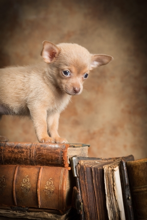 Cute little chihuahua puppy on top of old antique books photo