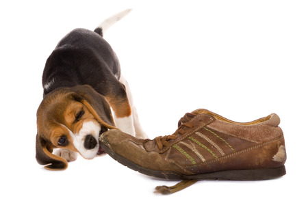Seven weeks old cute little beagle puppy chewing on an old shoe Stock Photo