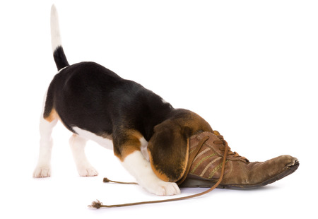 Seven weeks old cute little beagle puppy with its head in an old shoe