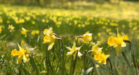 daffodils: Thousands of daffodils blooming wild