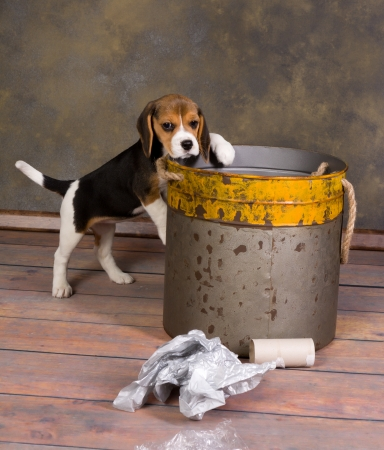 adorable little beagle puppy exploring a garbage can photo