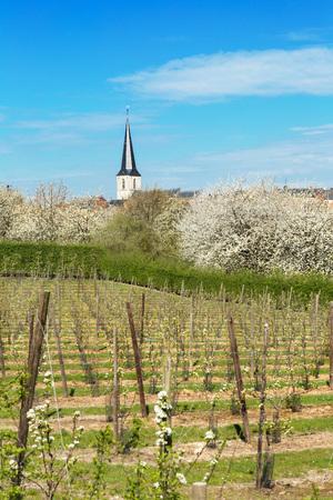 Voir sur un verger de poires dans la région de fruits célèbre en Flandre, en Belgique, près de Saint Trond Banque d'images - 25314059