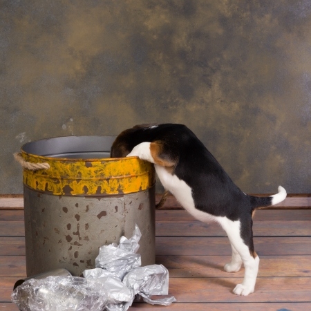little beagle puppy exploring a garbage can photo