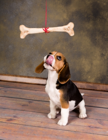 cute little beagle puppy watching a huge bone Stock Photo