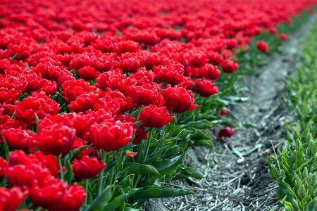 field crop: Famous Dutch bulb fields with millions of tulips in Holland