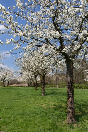 Voir sur un verger de poires dans la région de fruits célèbre en Flandre, en Belgique, près de Saint Trond Banque d'images - 25498709