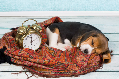 overslept: Tired little seven weeks old beagle puppy sleeping Stock Photo