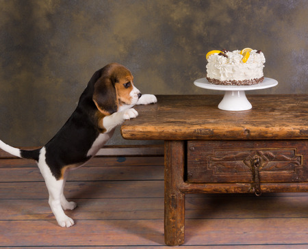 begging: Seven weeks old cute little beagle puppy watching a delicious frosted cake Stock Photo