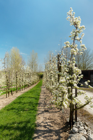 flemish region: Endless rows of young pear trees in full bloom in the famous Flemish fruit region in Belgium near St. Truiden Stock Photo