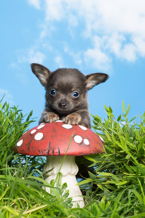 Funny chihuahua puppy in grass on a toadstool photo