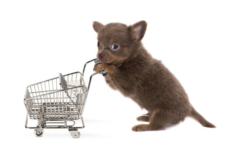 chihuahua puppy: Funny little chihuahua puppy shopping with a trolley
