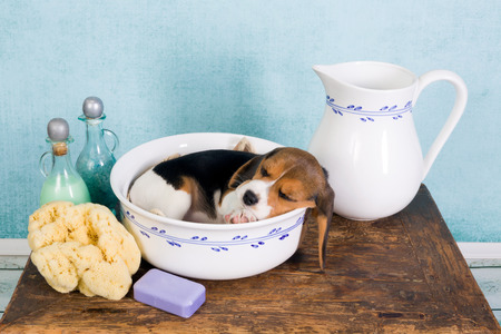 Sleepy seven weeks old little beagle puppy lying in a vintage washtub photo
