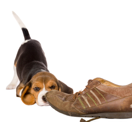 Seven weeks old cute little beagle puppy looking curious at an old shoe photo