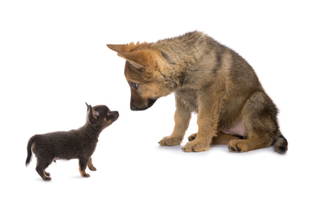 big dog: German shepherd and chichuahua puppy meeting and looking surprised