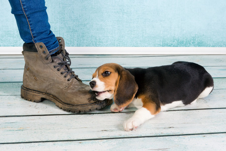 Seven weeks old cute little beagle puppy chewing on some ones foot Stok Fotoğraf