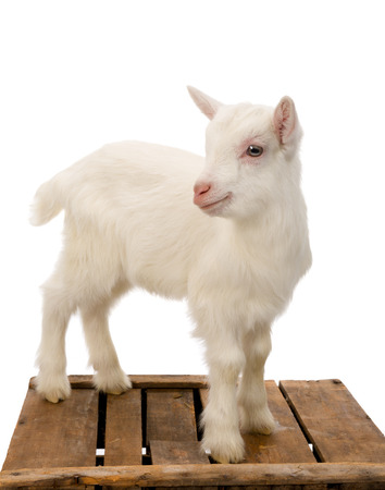 baby goat: Ten days old little white baby milk goat