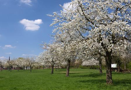 Voir sur un verger de poirier dans la région de fruits célèbre en Flandre, en Belgique, près de St. Trond Banque d'images - 26939710