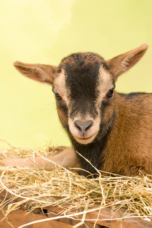 bleating: Ten days old little brown baby dwarf goat Stock Photo