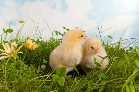 Fluffy easter chicks in a flower garden