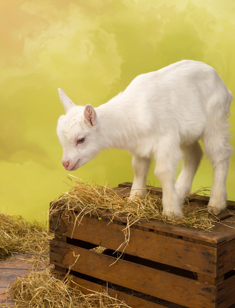 bleating: Cute baby milk goat standing on a vintage wooden crate