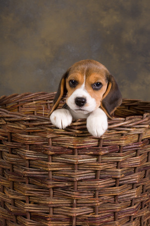 Seven weeks old cute little beagle puppy in an old wicker basket photo