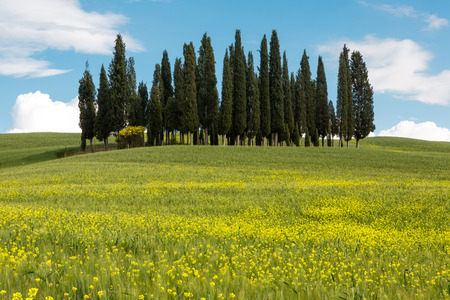 Wildflowers in front of the famous cypress trees in Tuscany Italy photo