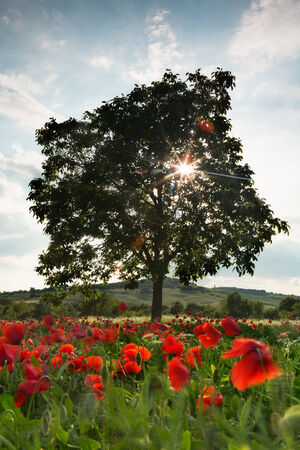 Sunflare through a lone tree in a poppy field in the hills of Tuscany in Italy photo