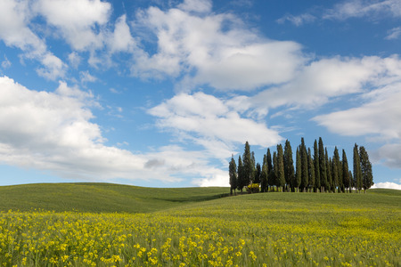 san quirico d'orcia: Rolling hills of Tuscany and famous cypress trees against a blue sky Stock Photo