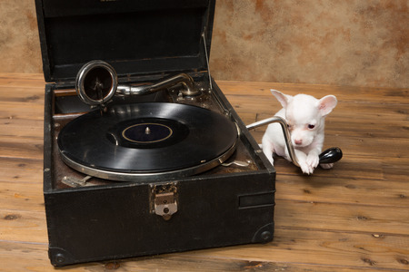 phonograph: White chihuahua puppy playing with an antique gramophone