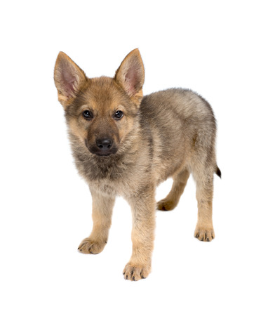 german shepherd puppy: Isolated image of a 9 weeks old german shepherd puppy Stock Photo