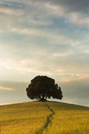 big tree: Large tree on a hill top in Tuscany near Pienza Stock Photo
