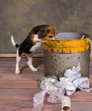 Zeven weken oud schattige kleine beagle puppy verkennen van een vuilnisbak