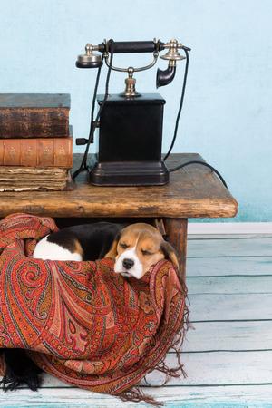 telefono antico: Stanco piccole sette settimane cucciolo di beagle dormire in un cassetto Archivio Fotografico