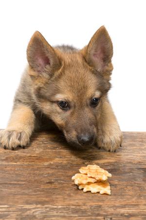 dog treat: Funny nine weeks old german shepherd puppy stealing a cookie
