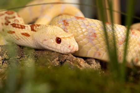 bull snake: Beautiful specimen of an albino bullsnake hiding in grass Stock Photo